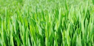 Влияние температуры на развитие пшеницы