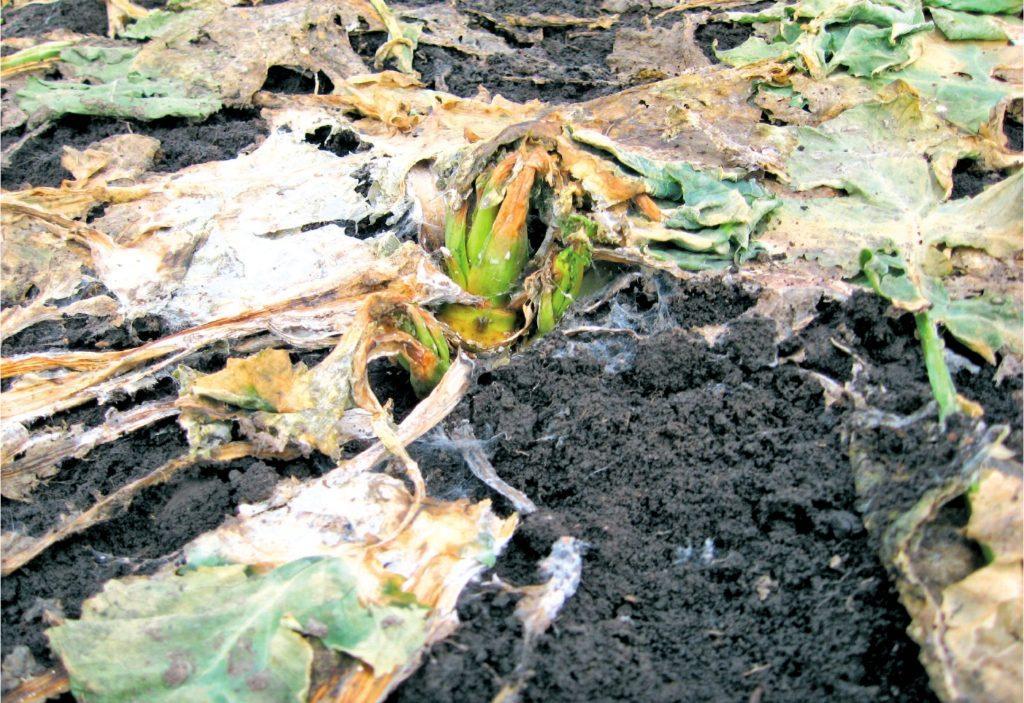 Рис. 5. Рослина уражена сніговою пліснявою