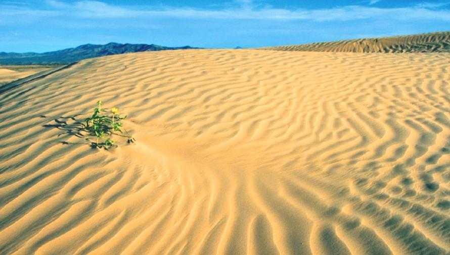 Рис. 1. Дикий подсолнечник прекрасно переносит даже условия пустыни (на фото растения Helianthus anomalus в песчаной пустыне). К сожалению, культурные формы утратили такую способность и на грунтах с очень высоким содержанием песка без орошения развиваются слабо. Но при наличии орошения можно получать вполне приемлемые урожаи