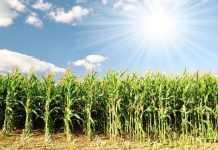 Як отримати гарантований урожай кукурудзи на півдні степу України