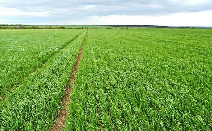 Возделывание пшеницы по раннему пару