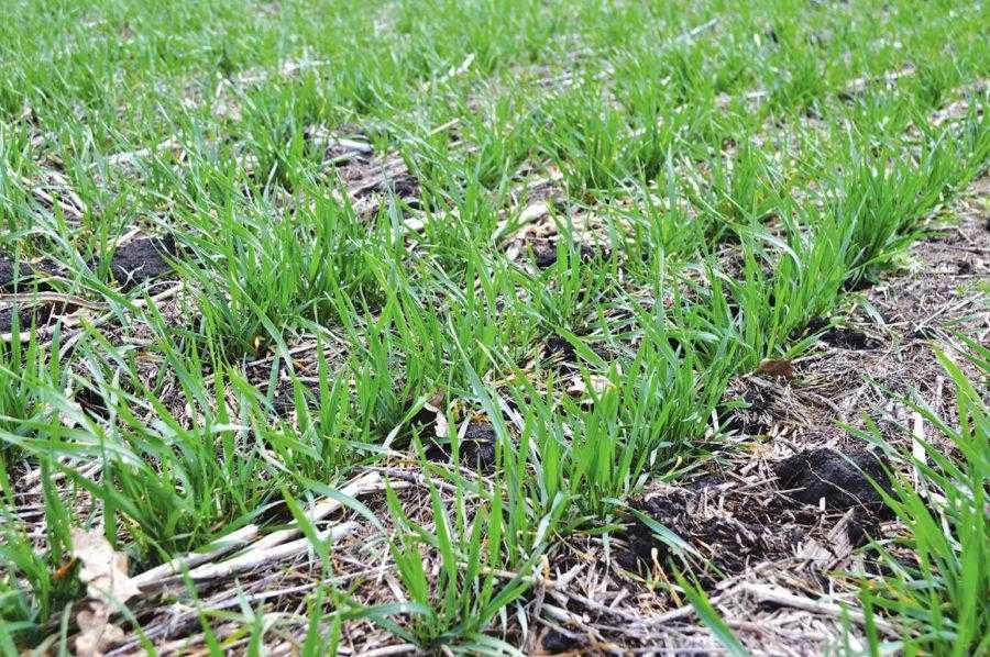 Пшеница, испытывающая большой дефицит влаги, начиная с фазы трех листьев и до фазы выхода в трубку, формирует иногда только один стебель (один колос на одно растение)