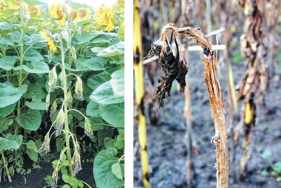 Рис. 4. Внезапное увядание является характерным симптомом склеротиниозного вилта (Sclerotinia selerotiorum). Склеротиниоз поражает все части растения – корни, стебель, листья и корзинки. Это системное заболевание. Растения подсолнечника поражаются как на ранних, так и более поздних стадиях развития. С момента всходов и до появления 4–6 пар листьев обычно развивается прикорневая форма – образуется густой белый войлочный налет (плесень) на семядольных листах, настоящих листьях и у основания стебля. На фото слева – заболевшее склеротиниозом растение, что можно определить по внезапному увяданию (дата съемки 12.07.2017, Тернопольская область, Украина). На фото справа – растение погибло, корзинка не сформировалась (дата съемки 07.09.2016, Сумская область, Украина)