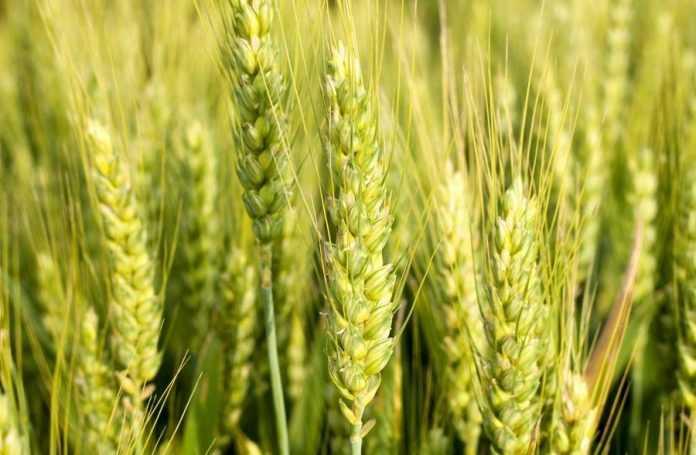Захист зернових колосових культур від шкідників