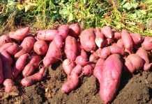 Выращивание батата в Украине