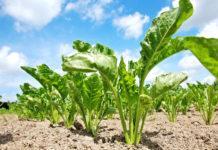 Особенности защиты посевов сахарной свеклы от сорняков