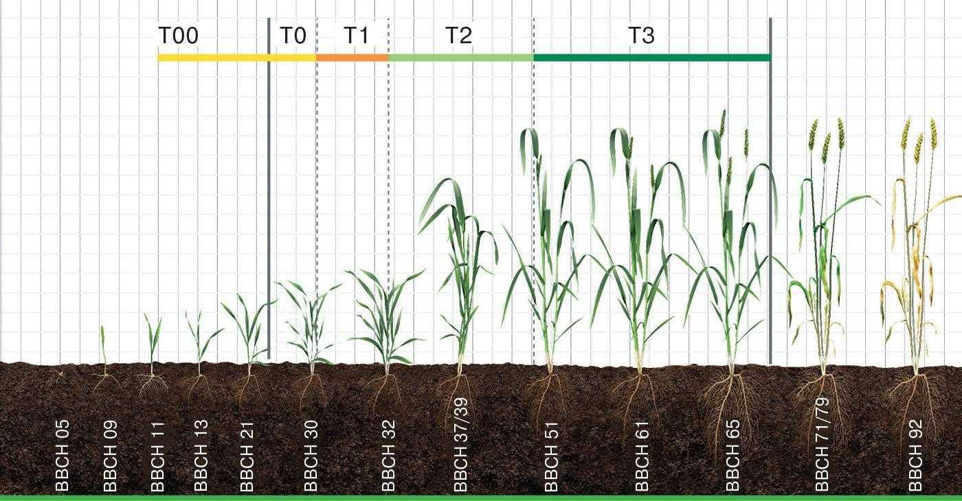 Рис. 1. Основні періоди внесення фунгіцидів у посівах озимої пшениці