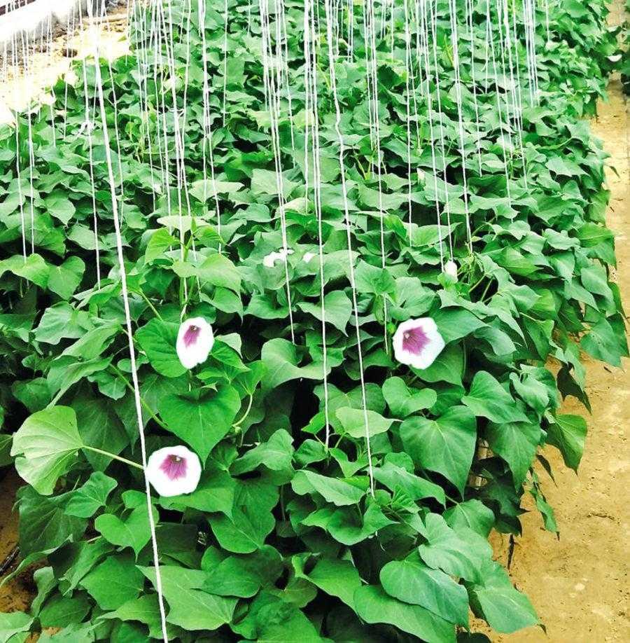 Рис. 1. Цветки батата очень похожи на хорошо знакомую нам ипомею