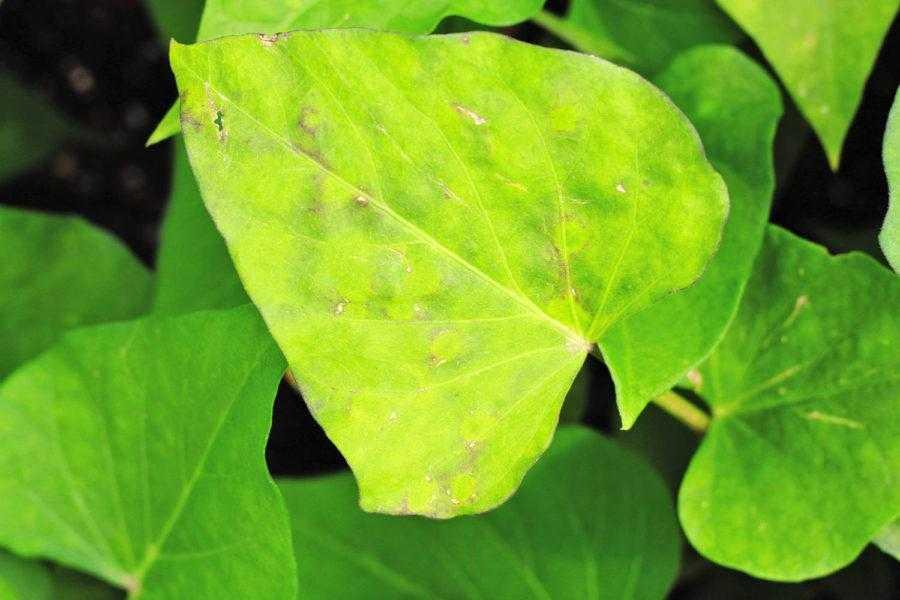 Рис. 10. Вирусные заболевания чаще всего проявляются нарушением окраски, мозаичностью и деформациями листьев