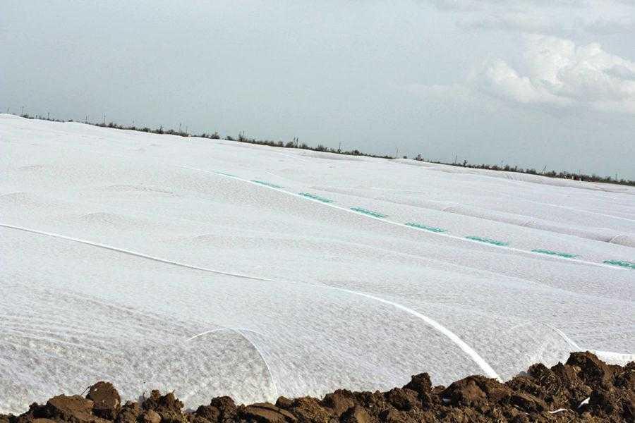 Рис. 4. Групповое укрытие агроволокном на дугах – очень важный агроприем при выращивании батата в северных регионах