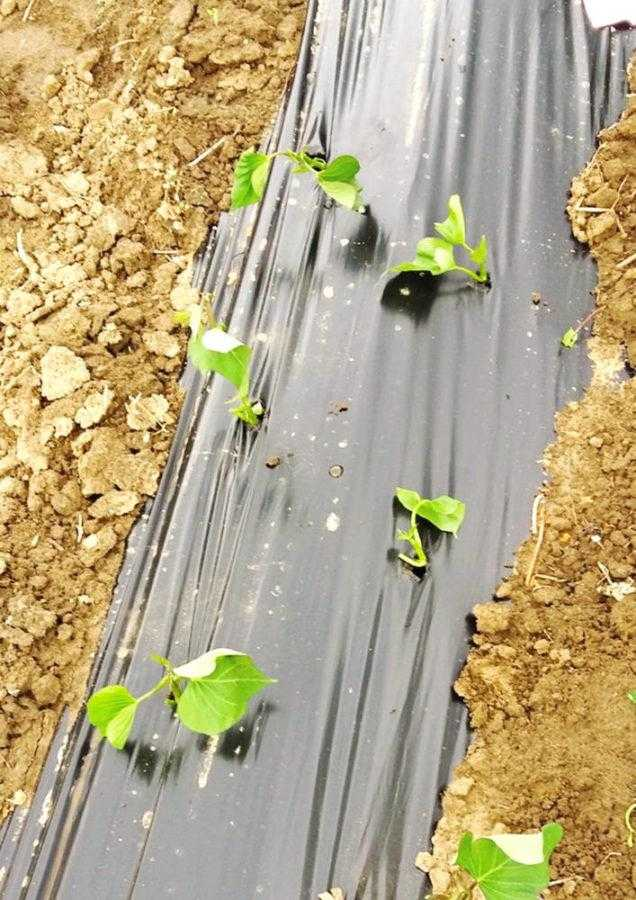 Рис. 5. Высадка на мульчирующую пленку – решение целого ряда проблем агротехники