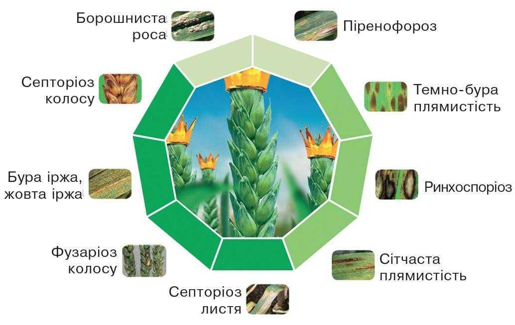 Рис. 7. Осіріс® Стар – надійний захист озимої пшениці від хвороб колоса, листя і вторинної інфекції