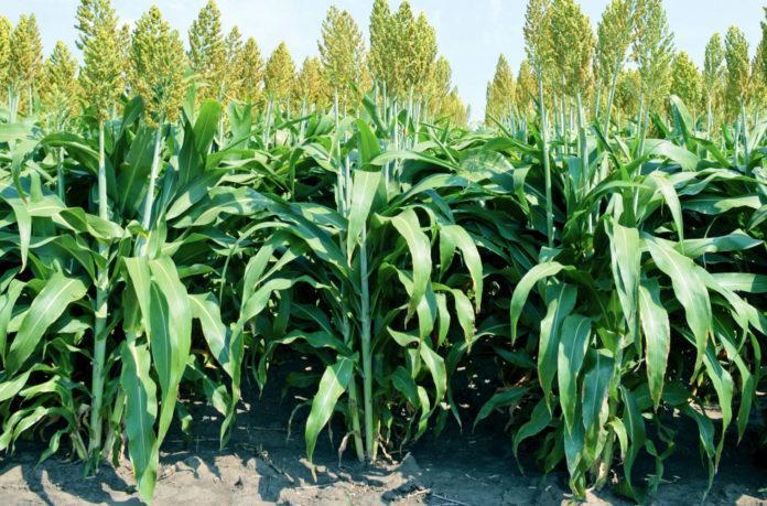зерновое сорго урожайность