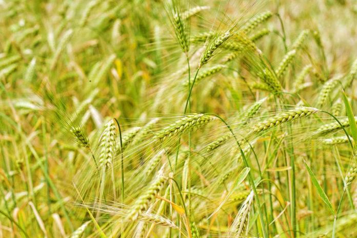 Дія та ефективність фунгіцидів на зернових