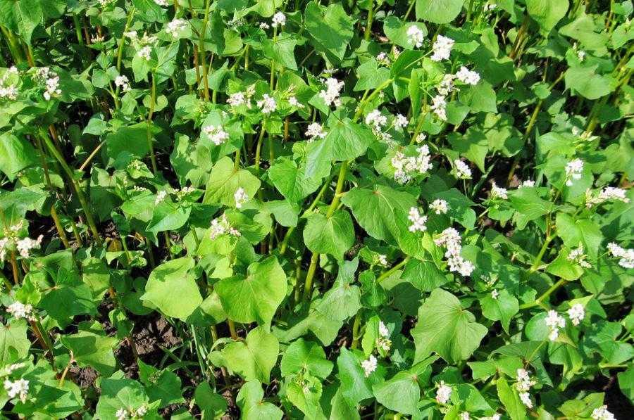 Гречку краще розміщувати на чистих від бур'янів полях після цукрових буряків, картоплі, кукурудзи, які удобрювались і за якими проводився належний догляд