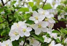 Препарати Норолак, Біламін і Гібкул для регулювання навантаження та покращення якості плодів