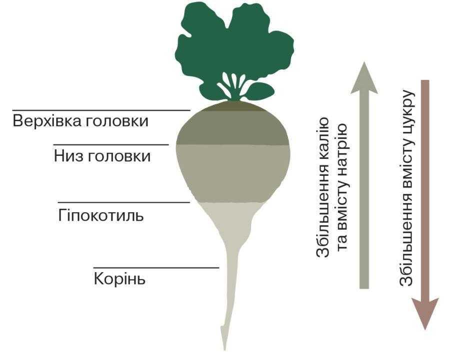 Рис. 4. Вихід цукру і вміст патокоутворювальних К та Na в різних морфологічних частинах коренеплоду цукрового буряка