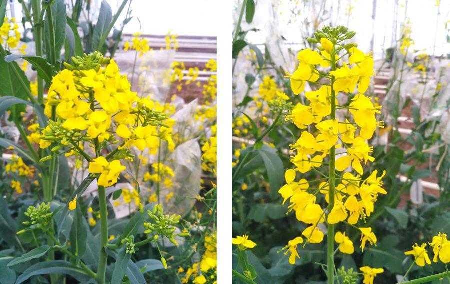 Рис. 1. Зліва – чоловічостерильна рослина (у квітках відсутні пиляки), справа – фертильна