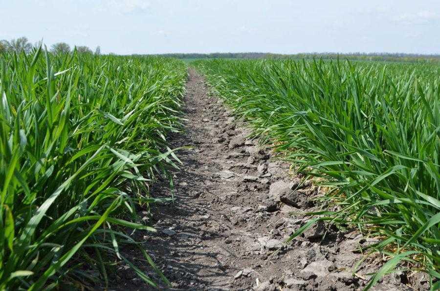 В зв'язку зі скороченням внесення гною та виключенням із систем удобрення простих добрив спостерігається збіднення ґрунтів на магній та сірку, що потребує їх обов'язкового застосування в системі удобрення пшениці озимої