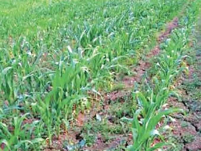 Дефицит влаги на глинистых почвах: развитие корневой системы растений кукурузы осложнено наличием трещин в почве