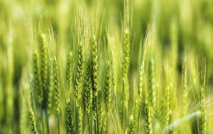 Інтенсифікація технології вирощування пшениці озимої