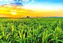 Погодные и физиологические проблемы при выращивании кукурузы
