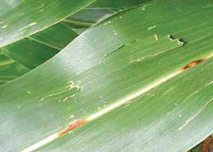 Порванные градом листья