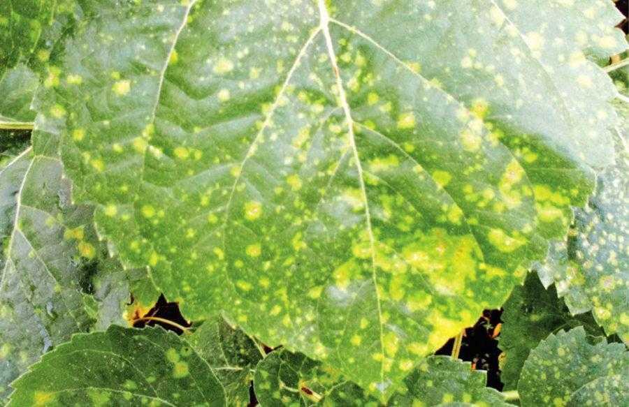 Рис. 2. Характерные симптомы заражения растений подсолнечника альтернариозом – появление на листьях светлых пятен. Пятна могут быть различной светлой окраски в зависимости от возбудителя и местных условий