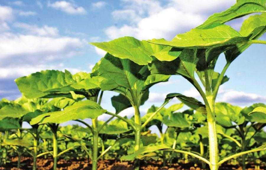 Рис. 3. Защите подсолнечника от альтернариоза следует уделять внимание, начиная с самых ранних стадий развития растений. В случае несоблюдения ротации инфекция уже будет присутствовать в почве и приведет к резкому снижению урожайности на более поздних стадиях