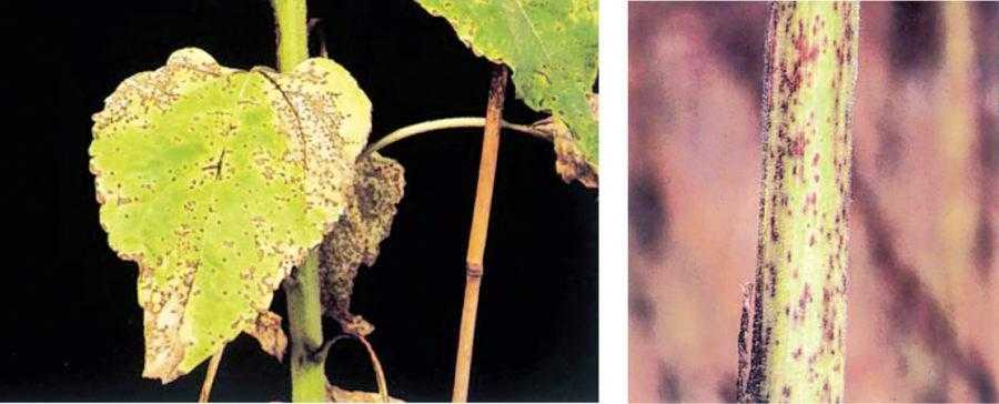 Рис. 6. Альтернариоз подсолнечника (Alternaria hellanthi). На фотографии – сильное развитие заболевания, охватывающее не только листья, но и стебель (B.D. Nelson, T.Gulya). При таком уровне развития заболевания урожайность снижается на 30–50%