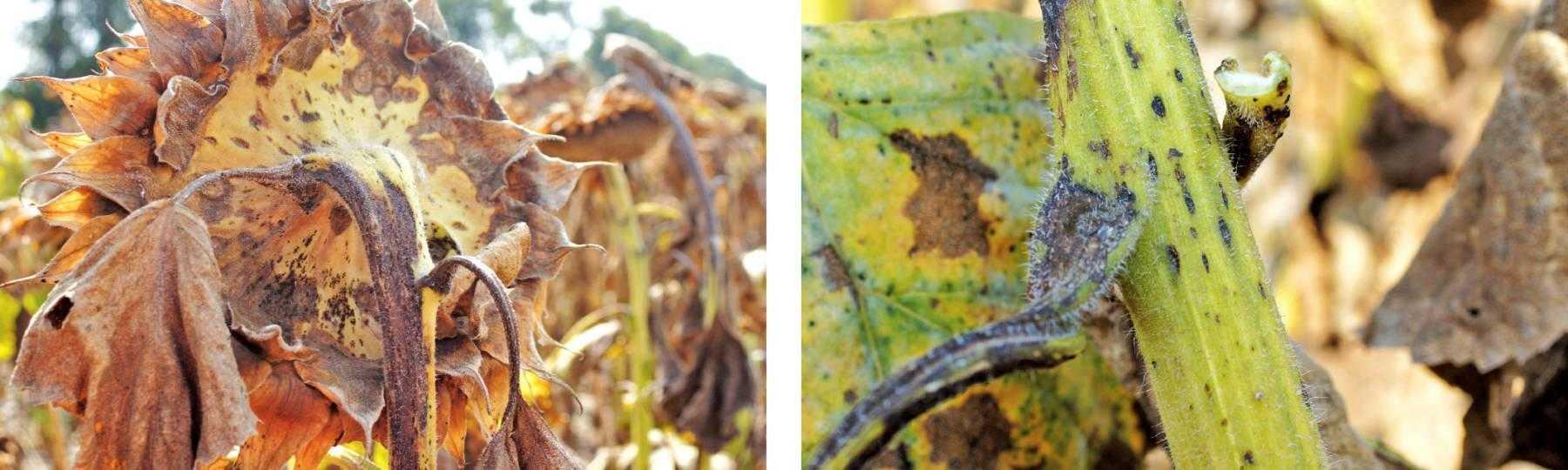 Рис. 7. Альтернариоз на корзинке и стеблях подсолнечника, листья уже погибли, снижение урожайности на этом поле очень существенное