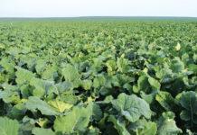 Safecross™-гібриди ріпаку озимого компанії «Сингента»: з турботою про врожай