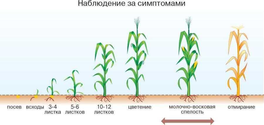 Заморозки в конце вегетативного цикла – до момента физиологической зрелости