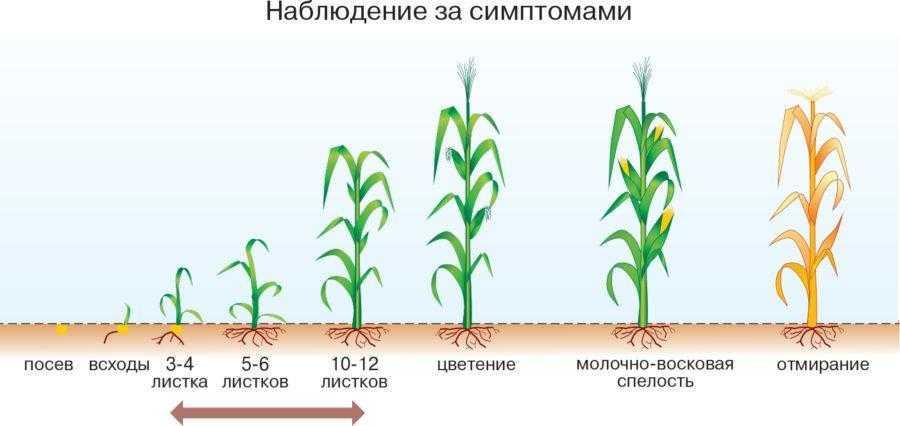 Заморозки в период от появления всходов и до фазы 8–10 листьев