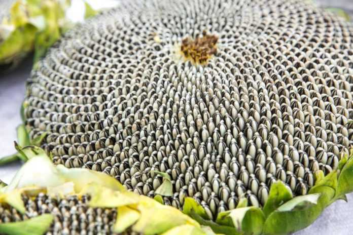 sunflower BASF