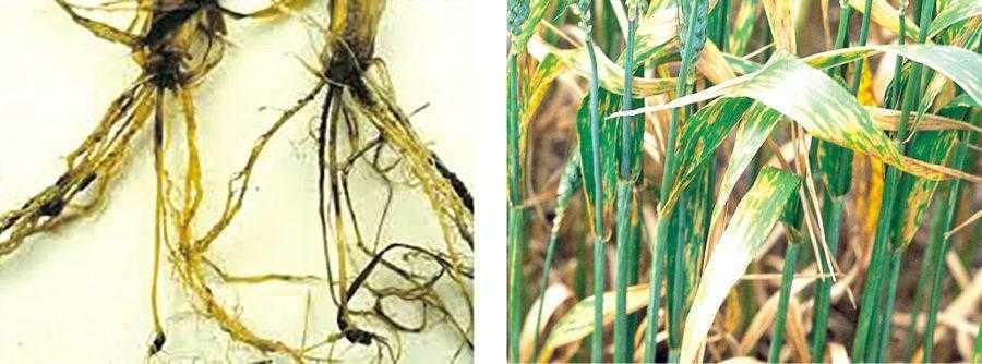 Корневые гнили (слева), септориоз (справа), фузариоз и пятнистости – это те болезни, которые будут прогрессировать в случае посева пшеницы после пшеницы