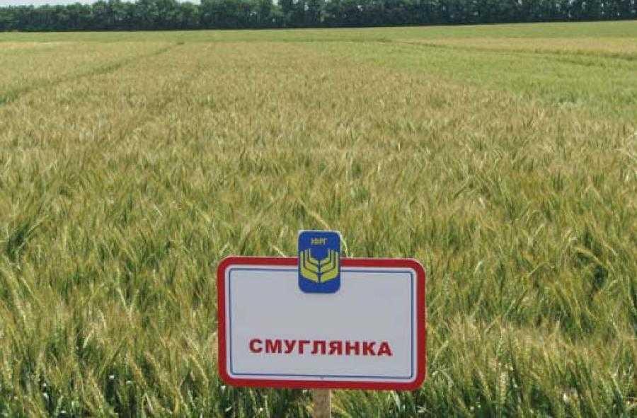 Смуглянка пшениця
