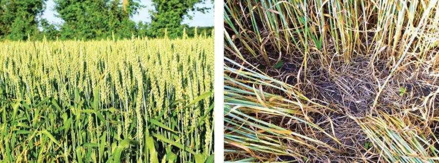 Поле пшениці, на якому третій рік поспіль вирощуються зернові колосові