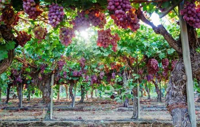 Растрескивание ягод винограда