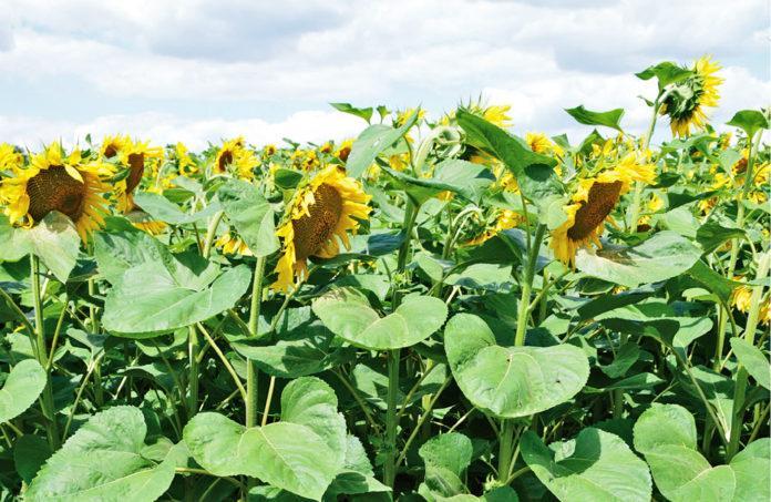 Рекомендацiї щодо вирощування органiчного соняшнику
