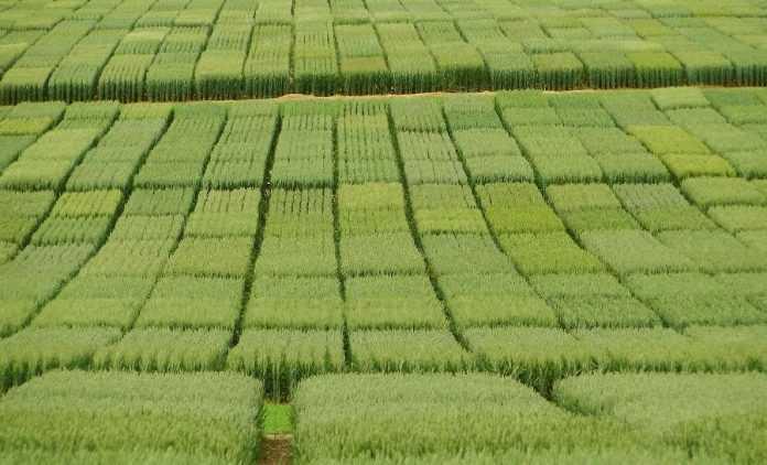 Розмноження насіння пшениці