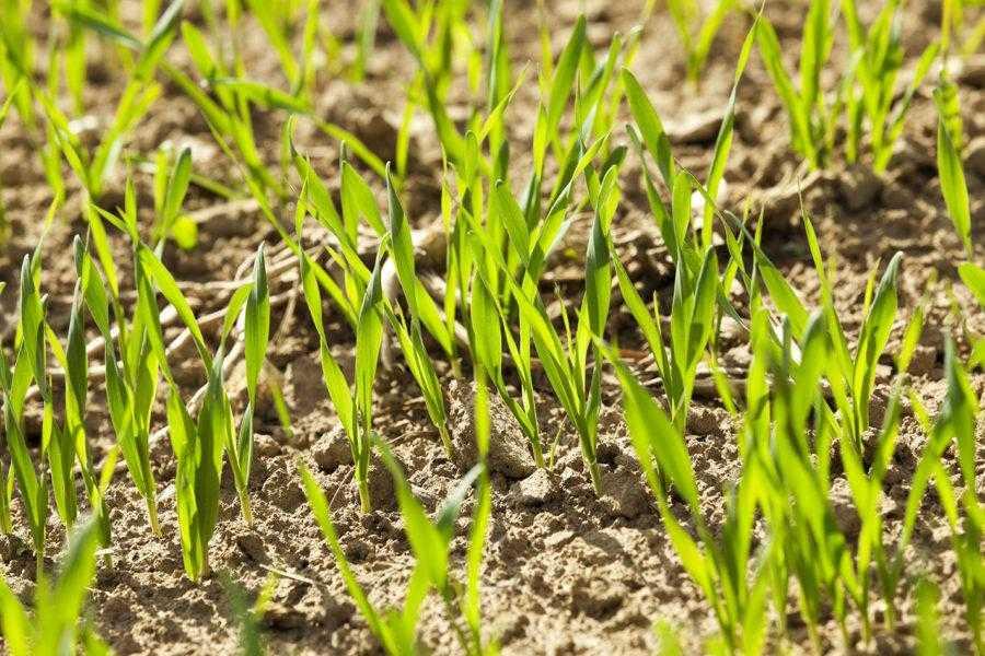 Розвиток рослин в осінній період є в більшості випадків визначальним у формуванні високої зимостійкості рослин та їх подальшій продуктивності
