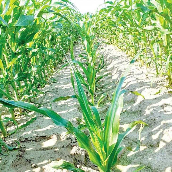 Рис. 1. Вплив надмірного ущільнення на розвиток рослин кукурудзи