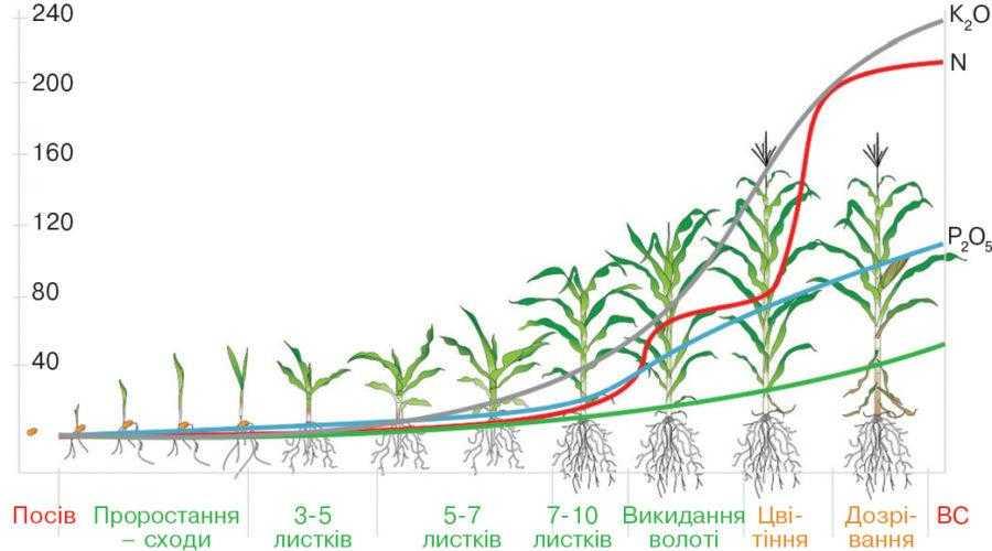 Рис. 7. Споживання макроелементів рослинами кукурудзи впродовж вегетації (lnz.com.ua)