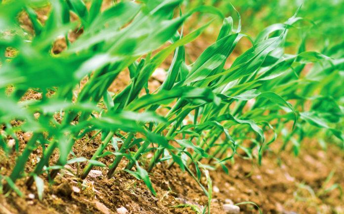 Удобрення кукурудзи від А до Я
