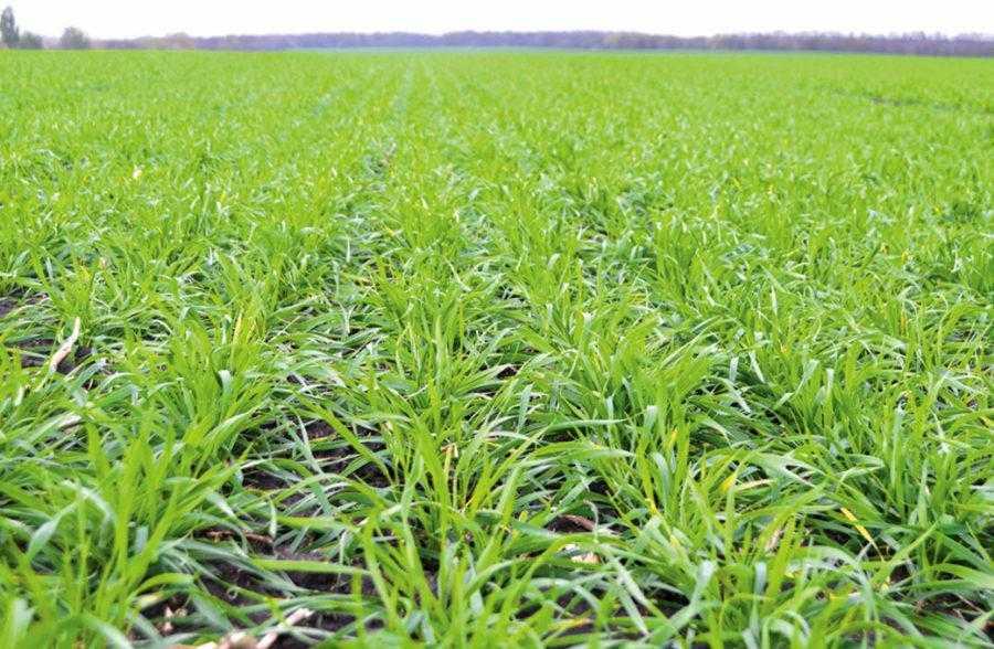 В регионах, где озимая пшеница дает высокий урожай и прибыль, возникает соблазн посеять пшеницу по пшенице, то есть второй год подряд. Да, это возможно сделать и можно получить достойный урожай, но повторный посев пшеницы будет нести в себе определенные риски