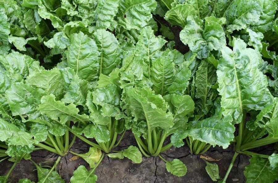 Вигляд цукрових буряків після застосовувався препарату Алгомель Пуш: рослини зберігають тургор і мають темне листя (17.06.2019)