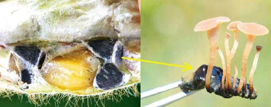 Рис. 2. Слева – склероции в бобах сои, резвившиеся вместо семян; справа – проросшая склероция и плодовое тело гриба Sclerotinia sclerotiorum. Склероция зимует в почве и прорастает с наступлением тепла и благоприятных условий