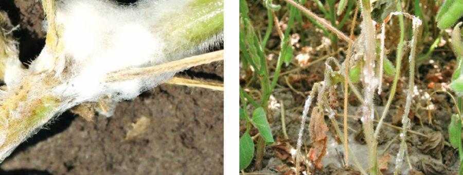 Рис. 3. Слева – белый мицелий на растениях сои, пораженных белой гнилью, возникающий во влажных условиях; справа – внешний вид больных растений
