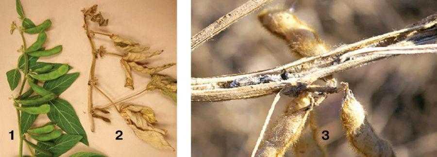 Рис. 4. Склеротиниоз сои: слева – различие между здоровыми (1) и больными (2) растениями сои. Больные растения преждевременно погибают. Стебель растения, пораженный склеротиниозом (3) со склероциями. Склероции токсичны и попадают в семена сои при уборке